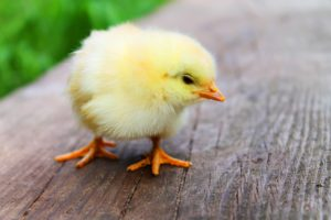 animal-easter-chick-chicken